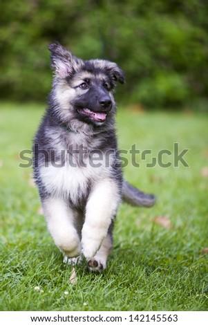 German Shepherd Puppy Running - stock photo