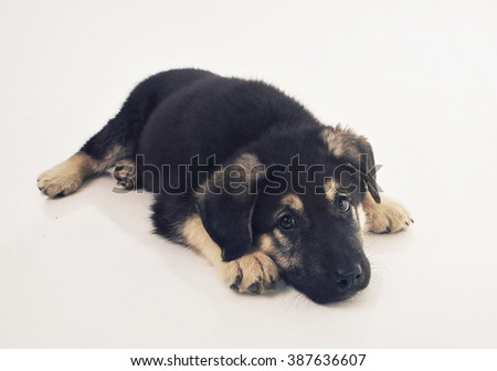 German Shepherd puppy sitting on a white background - stock photo