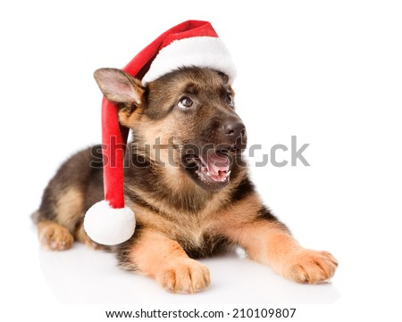 German Shepherd puppy with red hat looking up. isolated on white background - stock photo