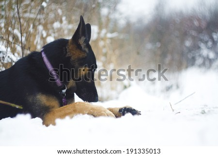 german shepherd puppy with stick - stock photo