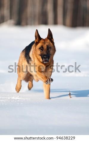 german shepherd running in the snow - stock photo