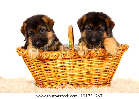 German shepherd`s dog puppys isolated on the white background - stock photo
