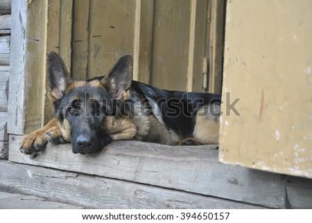 German Shepherd sitting near the house in the village - stock photo