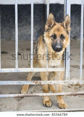 German shephers in kennel - stock photo