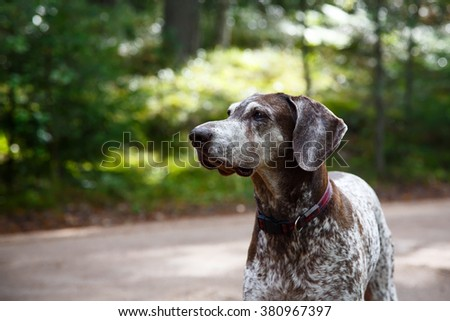 German shorthaired pointer - Hunter dog - stock photo
