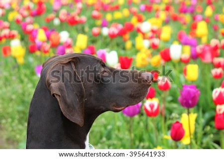 German Shorthaired Pointer posing in a Tulip field in the Willamette Valley, Oregon - stock photo