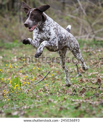 german shorthaired pointer running in a park - stock photo