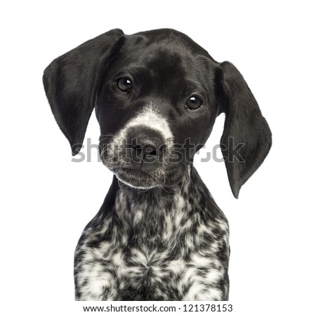 German Shorthaired Pointer, 10 weeks old, close up against white background - stock photo