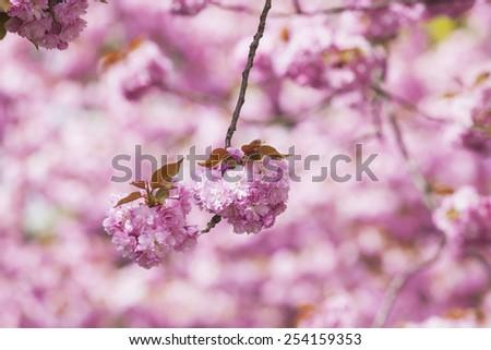 Germany, North Rhine-Westphalia, Cherry blossoms - stock photo
