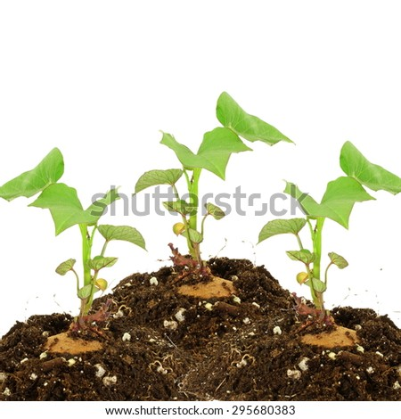 Germinated growing sweet  potato with shoots on white background - stock photo