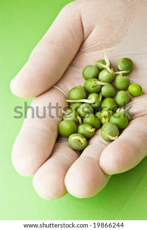 germinated peas for research in hand with gloves - stock photo