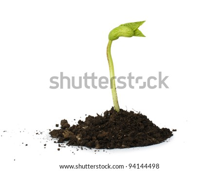 Germinating bean on white background - stock photo
