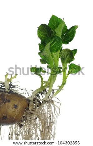 germinating potato on white background - stock photo