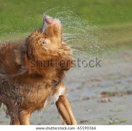 Getting rid of abundant water on his body, the retriever dog is shaking fastly so that water drops are flying everywhere across the image - stock photo