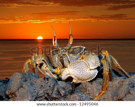 Ghost crab (Ocypode spp.) on coastal rocks against a red sunset, Mozambique - stock photo