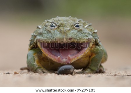 Giant African Bullfrog (Pyxicephalus adspersus) with mouth open, South Africa - stock photo