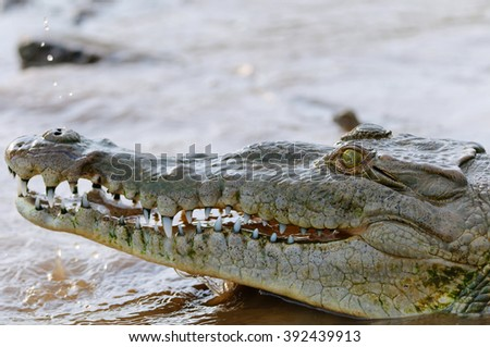 Giant African Crocodile on Tarcoles River. Costa Rica - stock photo