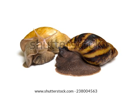 Giant african snail achatina fulica and archachatina ovum isolated - stock photo