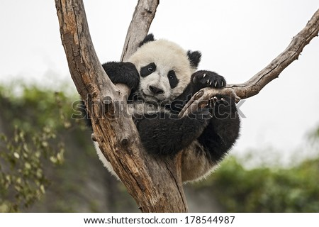 Giant Baby Panda Hanging on a Tree - stock photo