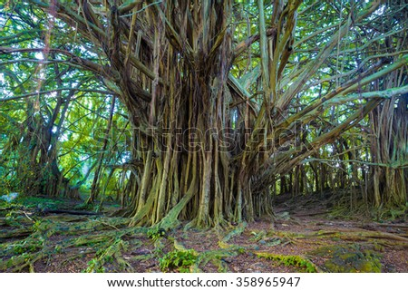 Giant banyan tree in Hawaii - stock photo