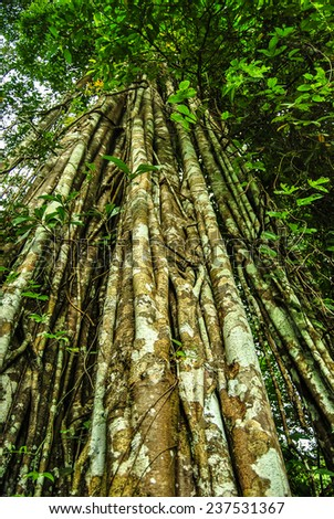 Giant banyan tropical tree covered by lianas and leafs. Laos. - stock photo
