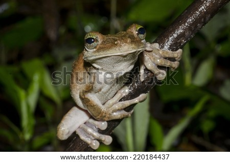 Giant broad-headed tree frog (Osteocephalus taurinus) in the Peruvian Amazon - stock photo