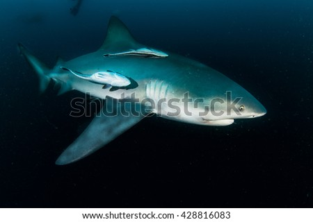giant bull shark / Zambezi Shark swimming in deep blue water - stock photo
