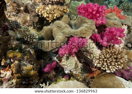 Giant Clam (Tridacna gigas) with soft and other corals on a tropical reef in Ulong Channel off the islands of Palau in Micronesia. - stock photo