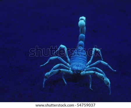 Giant Desert Hairy Scorpion under black light Hadrurus arizonensis - stock photo
