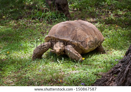 Giant Galapagos turtle on Madeira island, Portugal - stock photo
