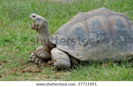 Giant Galapagos Turtle with mouth wide open. - stock photo