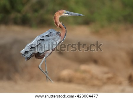 Giant Goliath heron, Ardea goliath, the biggest heron walking along the bank of the Nile River against blurred brownish background. Murchison Falls, Uganda. - stock photo