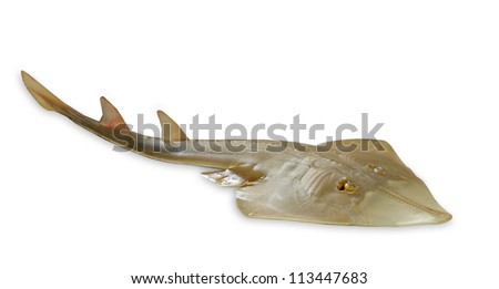 Giant guitarfish (Rhynchobatus djiddensis) - stock photo