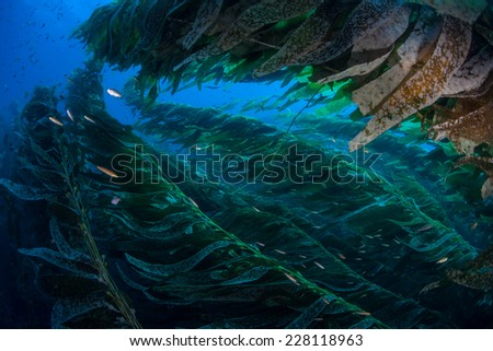Giant kelp grows in a thick underwater forest near the Channel Islands in California. Kelp provides a vital habitat for many fish and invertebrates and can grow quickly in the right conditions. - stock photo