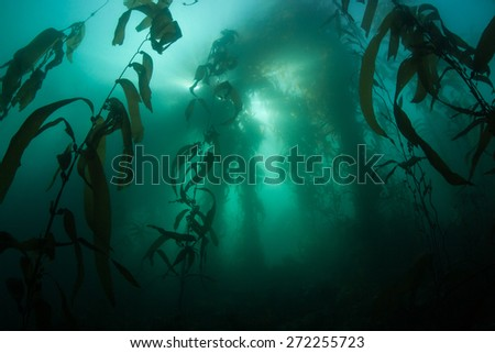 Giant kelp (Macrocystis pyrifera) grows in a thick forest off the coast of Monterey, California. Kelp is an important habitat for many species of temperate fish and invertebrates. - stock photo