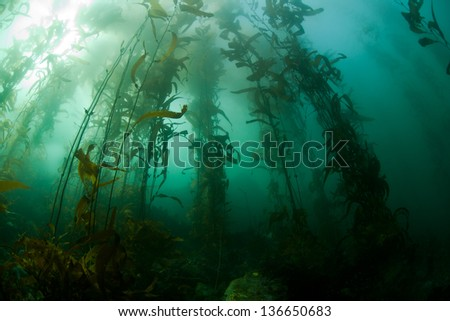 Giant kelp (Macrocystis pyrifera) is a species of large brown algae that grows along the Pacific coast of the United States and southward, - stock photo