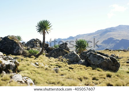 Giant lobelia on ridge tour in Simien mountains, Ethiopia - stock photo