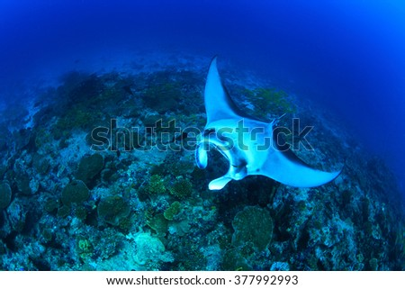 Giant manta ray (Manta birostris) floating over tropical coral reef - stock photo