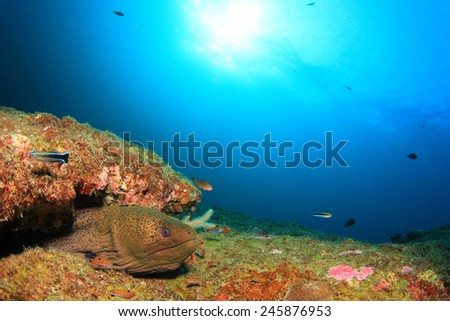 Giant Moray Eel - stock photo