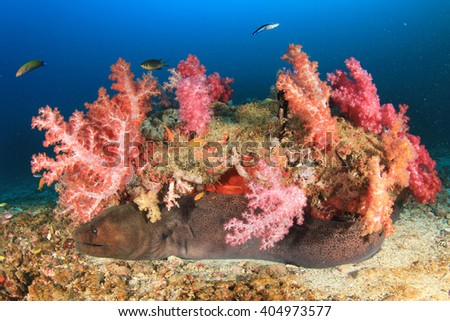 Giant Moray Eel and corals - stock photo
