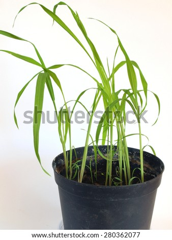 Giant moso bamboo seedlings are growing indoor in flower pot on white background close up - stock photo