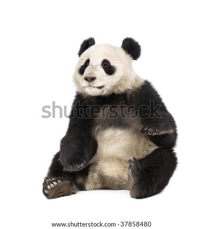 Giant Panda, Ailuropoda melanoleuca, 18 months old, in front of a white background, studio shot - stock photo