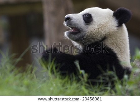 Giant Panda at a zoo - stock photo
