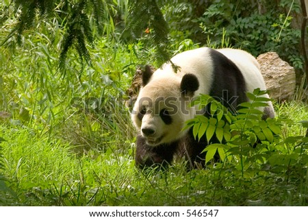 Giant panda at National Zoo in Washington. 3 - stock photo