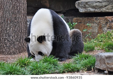 Giant panda bear. Australia, Adelaide zoo - stock photo