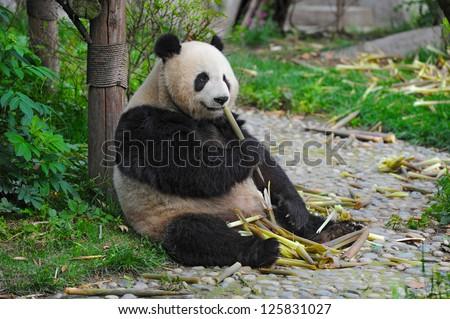 Giant panda bear eating bamboo - stock photo