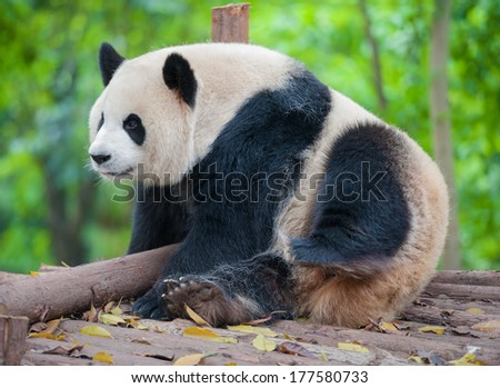Giant panda bear taking a rest - stock photo