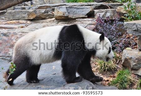 Giant panda bear walking. Australia, Adelaide zoo - stock photo