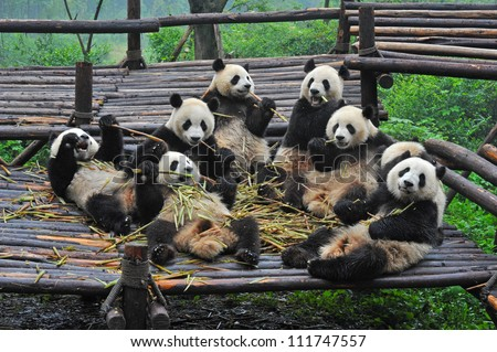 Giant panda bears gather for bamboo meal - stock photo