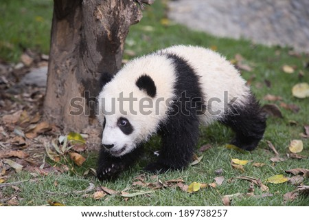 Giant Panda Cubs - stock photo
